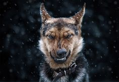 angry looking german shepherd
