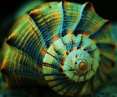 sea shell swirls photo by amanda edmondson Patterns In Nature, Textures Patterns, Color Patterns, Spirals In Nature, Fibonacci Spiral, Shell Art, Sacred Geometry, Sea Creatures, Natural World