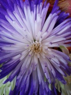 Spider Mums     © Copyright Sharon L. Grace. All rights reserved