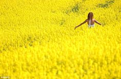 Mellow yellow: A woman frolicks in a vibrant oilseed rape field near Wimborne, Dorset