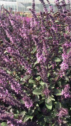 Die Blätter des Strauchbasilikum Magic Blue haben einen sehr aromatischen fernöstlichen Duft und Geschmack. Seine wunderschönen Blüten ziehen zudem unzählige Bienen und Hummeln an.