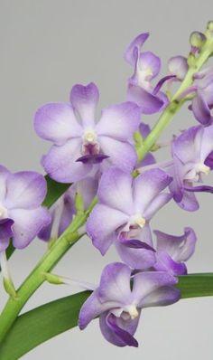 Pretty Orchid