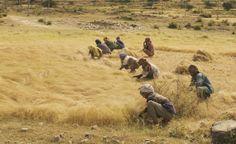 allAfrica.com: Ethiopia: Teff - Ethiopia's Tiny Secret Going Global