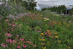 By Noel Kingsbury The North American planting: Echinacea pallida, purpurea and paradoxa. London Olympic Park Gardens Photo:James Hitchmough