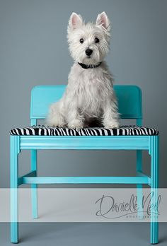 What a cutiepie West Highland Terrier