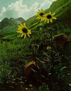 vintagflowers-mysticmamma.com >  My Sunshine