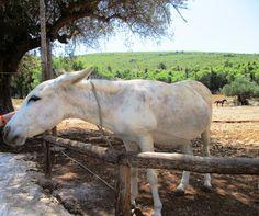 Oslík z ostrova Zakynthos - Řecko