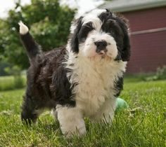 Old English Sheepdog / Poodle mix puppy