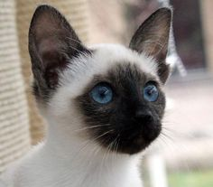 my next kitteh will be a Siamese.. or ragdoll..