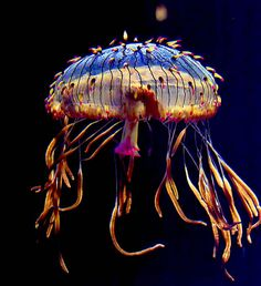 """odditiesoflife: """" The Amazing Jellies Jellyfish or jellies are the major non-polyp form of individuals of the phylum Cnidaria. They are free-swimming marine animals consisting of a gelatinous. Underwater Creatures, Underwater Life, Colorful Jellyfish, Deep Sea Creatures, Sea Slug, Life Aquatic, Beautiful Ocean, Orcas, Sea And Ocean"""
