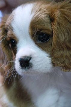 Soulful look! #dogs #pets #CavalierKingCharlesSpaniels #puppies Facebook.com/sodoggonefunny