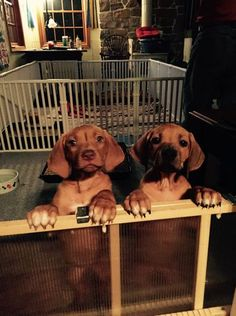 Rhodesian Ridgeback puppies jump on a babygate in excitement.