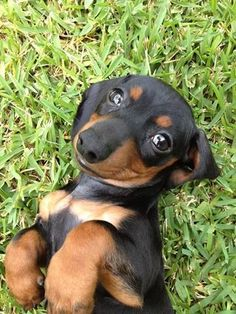 Awwwwww-every dachshund can give ya this look,it's how they get their way all of the time!!