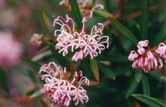 """Grevillea """"Pink Midget"""", planted in a pot by my door and has flowered profusely for months!"""