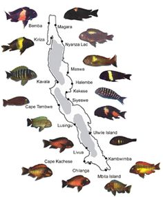 Cichlid types cpt nemo 39 s tank pinterest lakes for Malawi buntbarsch