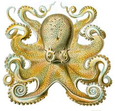 Shop Vintage Ernst Haeckel Octopus in Yellow Poster created by tartanphoenix. Personalize it with photos & text or purchase as is! Octopus Drawing, Octopus Art, Octopus Robot, Octopus Decor, Octopus Shower Curtains, Yellow Octopus, Gravure Illustration, Natural Form Art, Art Vintage