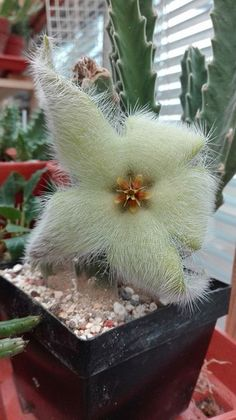Most recent Cost-Free Cactus Flower plants Ideas Cacti plus succulents are generally flowers which I have constantly appreciated so that as our mineral water Succulent Gardening, Cacti And Succulents, Planting Succulents, Planting Flowers, Flower Plants, Weird Plants, Unusual Plants, Exotic Plants, Unusual Flowers