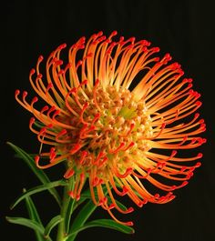 Leucospermum cordifolium, common name Pincushion Protea. A species of flowering shrub found only in the West Cape of South Africa. photo: KevinR.