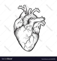 Human heart anatomically correct hand drawn vector image on VectorStock Heart Painting, Drawings, Heart Sketch, Watercolor Tattoo Flower, Human Heart Drawing, Heart Illustration, Anatomical Heart Tattoo, Art, Heart Drawing