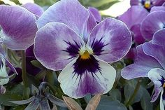 autumn is here, flowers, gardening, Viola