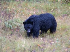 arkansas wildlife bear - Google Search
