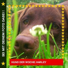 Labrador Harley Mein Lieblingsplatz im Grünen! #Hund: Harley / Rasse: #Labrador      Mehr Fotos: https://magazin.dogs-2-love.com/hund-der-woche/labrador-harley/ Bild, Foto, Hund, Natur