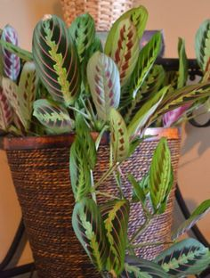 Maranta, the prayer plant, Indoor Plants