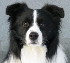 Frodo, the black and white dog.