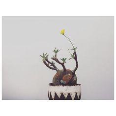 WEBSTA @ 96magnon - ・Pachypodium rosulatum var. gracilius😎🙌🙌🙌🌼