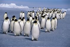 Emperor penguins (Aptenodytes forsteri) returning to rookery from feeding at sea, Antarctic.