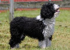 The American Kennel Club (AKC) is set to unveil seven new dog breeds to the public on Thanksgiving Day. Including the Spanish Water Dog - A rustic, multi-purpose breed, it was developed in Spain many centuries ago for a variety of purposes including herding, hunting, water work and companionship.