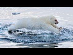 Polar Bears Swimming: To The Arctic IMAX 3D