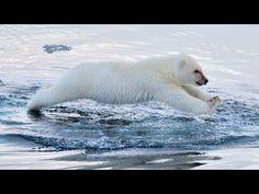 Polar Bears Swimming: To The Arctic IMAX 3D