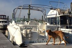 The Lovin' Life! Cruisers Yachts with Freedom The official Maryland State Dog - Chesapeake Bay Retriever