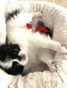 Cute Puppies, Cute Dogs, Japanese Chin, Beach House, Cute Animals, Pets, Butterflies, Beach Homes, Pretty Animals