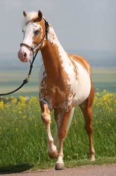 Flip side of Samy, the Palomino Overo stallion. - Flip side of Samy, the Palomino Overo stallion. Flip side of Samy, the Palomino Overo stallion. Cute Horses, Horse Love, Most Beautiful Animals, Beautiful Horses, Cheval Pie, American Paint Horse, Painted Horses, Majestic Horse, All The Pretty Horses