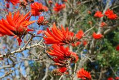 Erythrina lysistemon is a species of deciduous tree in the pea family, Fabaceae, that is native to South Africa. Common names include Common Coral Tree, Lucky Bean Tree