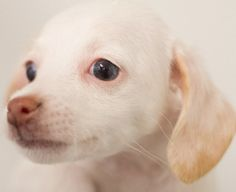 Cloud is an adoptable Italian Greyhound Dog in Los Angeles, CA. Aren't puppies the cutest? Check out this adorable litter of Australian Shepherd / Italian Greyhound mix puppies. lange foundation