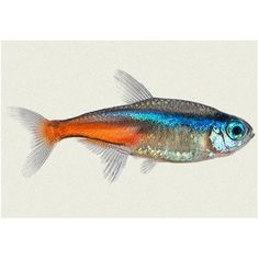 Many types of Tetras are available at Kellyville Pets!