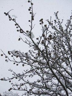 Il liquidambar e la neve.