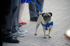 Bowties are cool #bestdog #groomsdog #bridesdog #dogofhonor #bowtiesarecool #pug #wedding