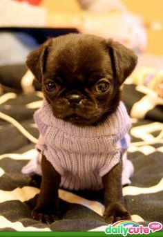 Pugs I want wear sweaters