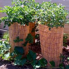 Potato towers in upcycled matchstick blinds.