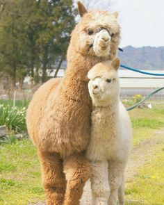 Cute Alpacas – Cute Animals a great example of a style pinsight from fellow pinner Alpacas, Cute Funny Animals, Cute Baby Animals, Animals And Pets, Nature Animals, Cute Small Animals, Smiling Animals, Cutest Animals, Wildlife Nature