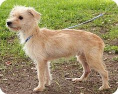 Missouri City, TX - Cairn Terrier/Yorkie, Yorkshire Terrier Mix. Meet Jarvis, a dog for adoption. http://www.adoptapet.com/pet/10089783-missouri-city-texas-cairn-terrier-mix
