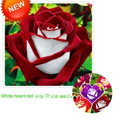 White Red Edge Rose Seeds Garden Seed Plants Potted Rose Rare Flower Seeds Balcony Indoor 100 PCS/Bag