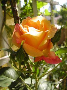 Favorite rose in my yard..Joseph Coat!