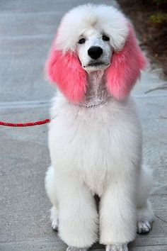 Cute Poodle Puppy - not that I like that dyeing thing in general.. :-/