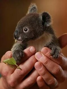 By gum, Archer the orphaned koala has to grow up, with help from Featherdale Wildlife Park staff Amazing Animals, Animals Beautiful, Nature Animals, Animals And Pets, Nature Nature, Wild Nature, Wild Animals, Cute Baby Animals, Funny Animals