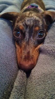 Chocolate dapple dachshund!